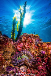 Sunburst Over A California Reef. The clear winter water a... by Douglas Klug